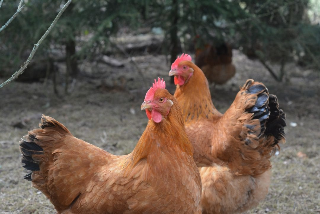 New Hampshire Hühner - Große Rasse