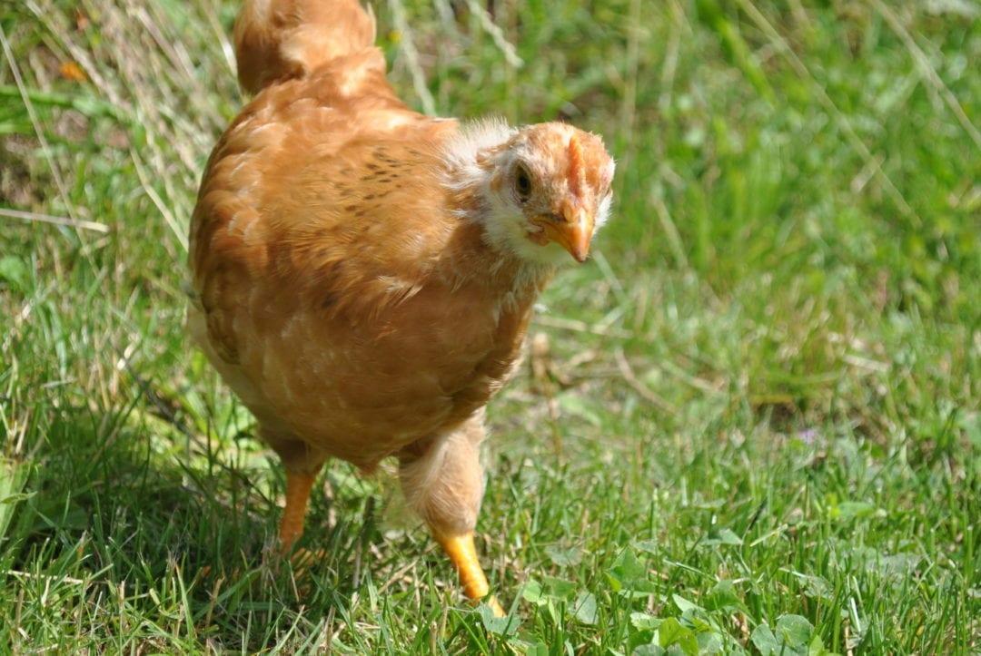 Jugtier der Zwerg New Hampshire Hühner
