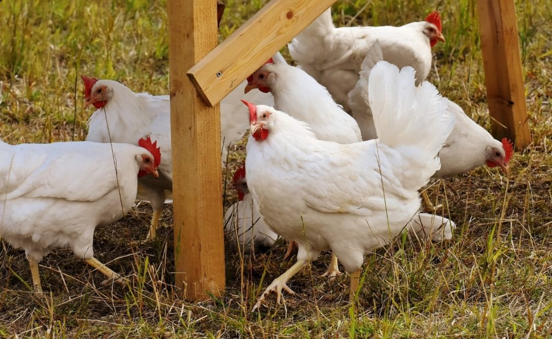 Haltung der Bresse Hühner