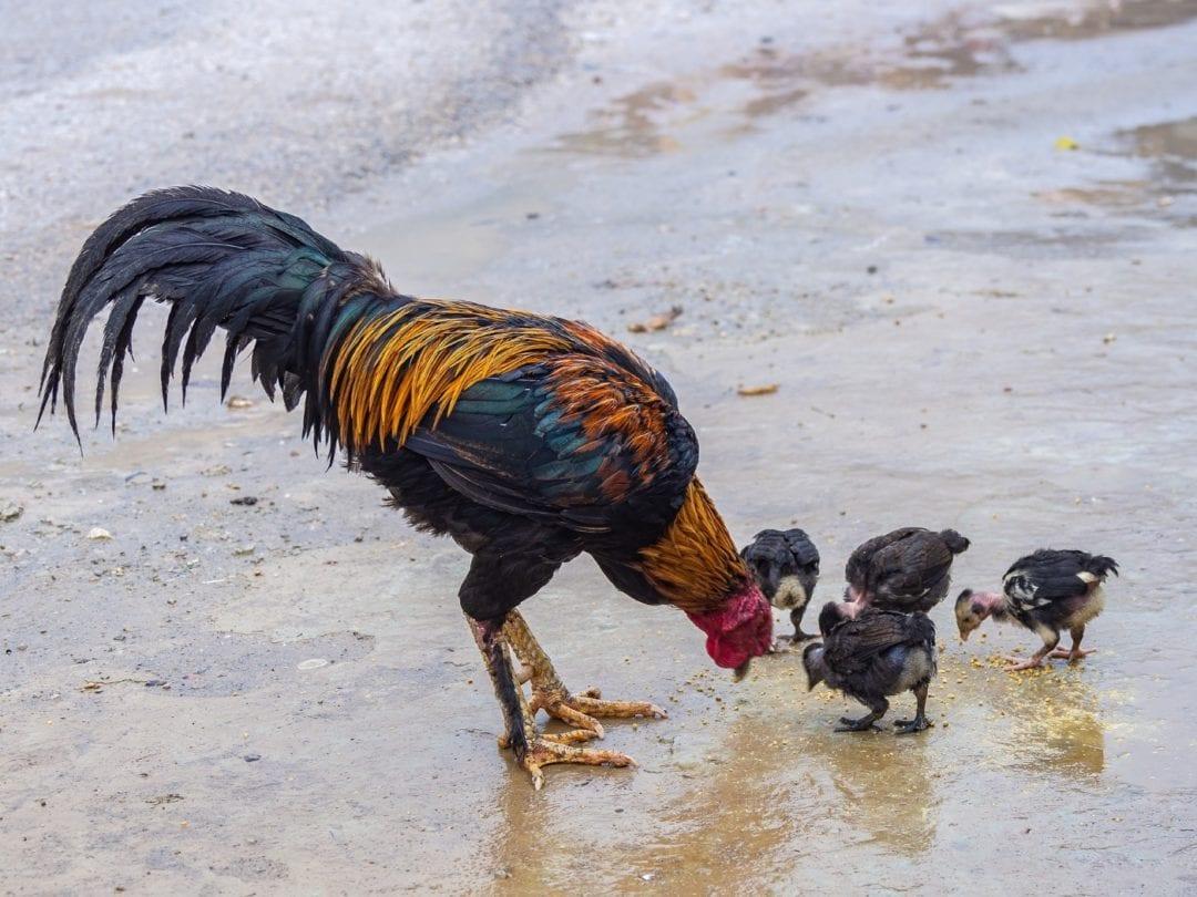 Küken der Malaien Hühner